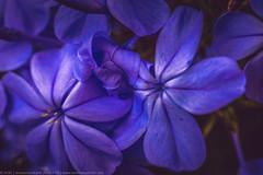 Entangled (anoopchandranb) Tags: flower macro art garden artistic bokeh holdinghands blueflower entangled extensiontubes conejovalleybotanicgarden smcpentaxm11750mm entangledpetals sonya7r twoflowersholdinghands