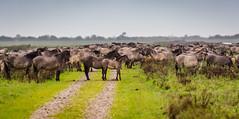 _DSC9036 (duncen.mcleod) Tags: horses horse oostvaardersplassen ifg konikpaarden konikpaard edelherten heckrunderen itfryskegea vrijwilligersuitje heckpaard