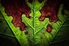... leave ...  [explored Sept. 29, 2015] (*ines_maria) Tags: garden weinblatt macromondays