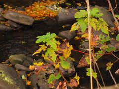 Scarlet Twigs, Golden Leaves (Alexander Michael Crow) Tags: autumn red color green fall water leaves yellow rock stone river gold scotland highlands rocks colours stones sycamore ochre caithness strath dunbeath neilgunn dunbeathstrath highlandrivercountry