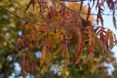 cutleaved staghorn sumac (sara_rall) Tags: rutgersgardens
