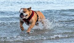 Loving the sea (Mallybee) Tags: sea running bulldog 90mm fijifilm xt10 mallybee