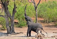 Reaching high in Chobe National Park, Botswana. (One more shot Rog) Tags: africa elephant wildlife elephants chobe zambia tusker
