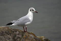Gull waiting for food (lens buddy) Tags: birds wildlife gull lancashire waterfowl pinelake wildfowl carnforth canoneosdigital