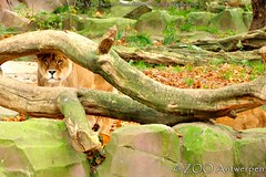 Afrikaanse leeuw - Panthera leo leo - African Lion (MrTDiddy) Tags: female cat caitlin mammal zoo big kat feline leo african lion bigcat antwerp lioness antwerpen zooantwerpen grote leeuwin leeuw panthera liones vrouwelijk zoogdier afrikaanse grotekat
