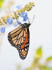 Monarch at rest (v4vodka (back in Poland)) Tags: butterfly insect lepidoptera monarch milkweed wanderer monarchbutterfly danausplexippus motyl milkweedbutterfly commontiger blackveinedbrown