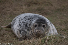 Seal ~ 7910 (@Wrightbesideyou) Tags: england animal lincolnshire seal nationalnaturereserve donnanook lincolnshirewildlifetrust 07904610415 simonpeterwrightbtinternetcom nikond750 wrightbesideyou lincswildlife