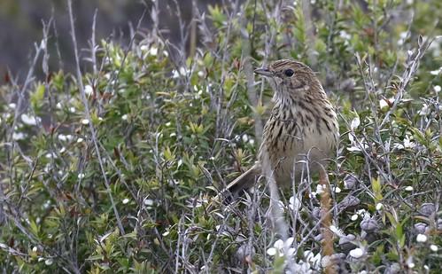 Striated Fieldwren_15-11-07_Calamanthus fuliginosus
