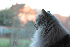 """Ich wäre so gerne draußen!"" (Vasquezz) Tags: katze cat sibirischekatze sibirische sibirisch siberiancat siberian waldkatze forestcat сибирская кошка сибирскаякошка fussel yourbestoftoday coth coth5 bestofcats catmoments vg~catsgallery kittysuperstar kittyschoice fantasticnature hellopussycat"