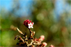viburnum grandiflorum (atsjebosma) Tags: viburnumgrandiflorum garden winter winterflower flower bloem atsjebosma macro bokeh sunlight sun groningen thenetherlands januari 2017