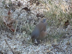 Baird's junco video (Rick Wright, Tours and Private Guiding) Tags: bajacalifornia 2017 video sparrows emberizids juncos passerellids