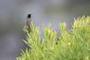 DSC_7425 (mylesm00re) Tags: m africa anthobaphesviolacea gantouwpass hottentotshollandnaturereserve nectariniidae orangebreastedsunbird oranjeborssuikerbekkie southafrica westerncape za bird