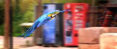 (019/17) Colores (Pablo Arias) Tags: pabloarias photoshop nxd españa colores ave vuelo terranatura benidorm alicante comunidadvalenciana