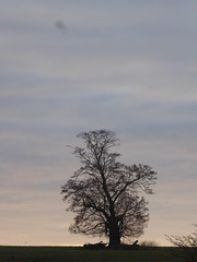 The curvaceous tree (seikinsou) Tags: ireland westmeath winter curvaceous tree linden lime sky dusk