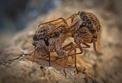 double whopper (try...error) Tags: macromondays itsalive macro monday insect olympus omd em5 zuiko greece griechenland crete kreta cixiidae zikade cicada
