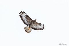 Mäusebussard 6 (rgr_944) Tags: vögel vogel bird oiseau tiere animaux animals natur outdoor canoneos80deos7dmk2 rgr944