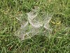 Webs and morning dew #morningdew #grass (LauraFrench23) Tags: morningdew grass