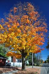 Top Down Management (cmu chem prof) Tags: mountpleasant isabellacounty michigan autumn fallcolor circularpolarizer mapletree bluesky