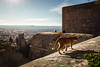 Alcazaba Ginger Cat, Alhambra (chrisgj6) Tags: palaces unesco alcazaba worldheritage palace andalusia architecture cat alhambra nasrid spain granada andalucía es