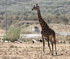 Masai giraffe (mirsasha) Tags: january kenya giraffe 2017 hellsgate masaigiraffe