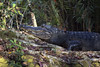 (DFChurch) Tags: nature animal wild wildife corkscrew swamp florida naples audubon alligator alligatormississippiensis reptile