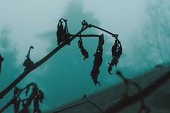 Decadence (Giulia Gasparoni) Tags: fog mist nebbia nature weather winter season seasonal tree trees plants decadence silhouette silhouettes macro curtain vintage indie retro pale grunge aesthetic photography