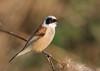 Rémiz penduline (m-idre31 - 5 millions de vues merci) Tags: oiseau bird aves gruissan aude rémizpenduline