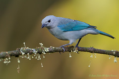 Blue-gray tanager-4456 (Thraupis episcopis). Please view large. (dennis.zaebst) Tags: 1dmarkiv 500 birds bluegraytanager centralamerica costarica tanager animal bird naturethroughthelens