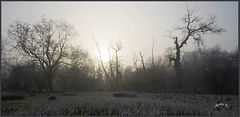 Winter . Part 4. (Picture post.) Tags: landscape nature green winter fog mist sunlight trees silhouettes reeds paysage arbre frost cold