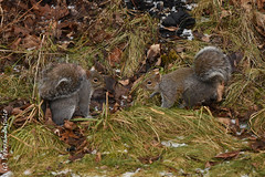 The Dating Games (dbifulco) Tags: animal behavior coutrship easterngraysquirrel nature newjersey nikkor300f4pfed outdoors rodent two widlife winter