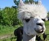 Smile on Sunday - Happy Animals (shireye) Tags: godolphin ontario on nikon d7000 24120 alpalca smileonsunday happyanimals