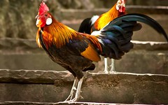 Bird Livestock Rooster Chicken - Bird Domestic Animals Cockerel Animal Themes One Animal Animal Crest No People Outdoors Day at Liman 2 (Emilija Micic) Tags: bird livestock rooster chickenbird domesticanimals cockerel animalthemes oneanimal animalcrest nopeople outdoors day