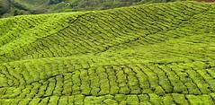 Green madness... (radimersky) Tags: cameron highlands tea plantation plantacje herbaty green zielone herbata day dzień outdoor landscape krajobraz malezja malaysia asia azja dmclx100 panasonic micro 43 fourthirds lumix plants travel