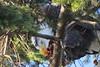Time For Lunch! (shesnuckinfuts) Tags: americanbaldeagle haliaeetusleucocephalus baldeagle eagle juanitabay washingtonstate shesnuckinfuts january2017 nature wildlife bird fish kirklandwa