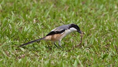 Long-tailed Shrike or Rufous-backed Shrike (Lanius schach) (haroldmoses) Tags: img10341 flickrbirds singapore gardenbythebay rufousbackedshrike longtailedshrike shrike butcherbird