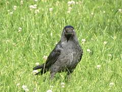 Western jackdow // Corvus monedula