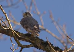 Prairie Falcon (miketabak) Tags: