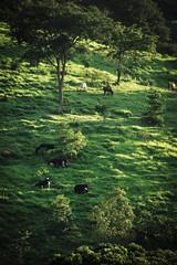 O campo (Johnny Photofucker) Tags: bomdespacho minasgerais mg brasil brazil brasile verde green gado vaca mucca cow fazenda farm podere campo campagna lightroom cattle bestiame morro bucólico