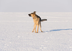 Harley_Lake Erie_Barking (Thomas Muir) Tags: tommuir lakeerie oakharbor ohio germanshepherd dog outdoor lucascounty snow nikon d800