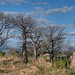 Baobabs and Houses