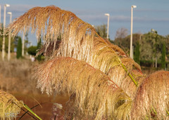 "- Nombre científico o latino: Cortaderia selloana - Sinónimos: Cortaderia argentea, Gynerium argenteum  - Nombre común o vulgar: Plumero, Plumeros, Carrizo de La Pampa, Hierba de La Pampa, Hierbas de las Pampas, Cortaderia, Ginerio, Gimnerio. (Lola Cortés Neva) Tags: morning color macro green nature closeup outdoors photo droplets leaf image large nobody drop clean growth dew cortaderia colorimage plumeros colorimages hdphotos hierbadelapampa carrizodelapampa hierbasdelaspampas ginerio gimnerio nombrecientíficoolatinocortaderiaselloanasinónimoscortaderiaargentea gyneriumargenteumnombrecomúnovulgarplumero flowerswithwaterdropletspinkrosecloseupwaterdropnaturemacrodewdropsphotographyroseleaveswithwaterdropsbeautyinnature ""lolacortésneva""rosepetals"