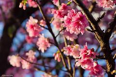 Flores de cerejeira (Vinicius_Ldna) Tags: brazil flower tree canon cherry 50mm blossom flor naturallight explore londrina cerejeira 7370 explored