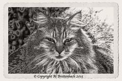 Ziggy Altered (fishmonger45) Tags: bw cats ziggy greatphotographers