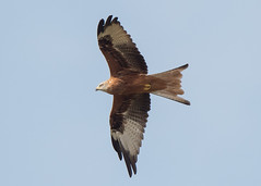Red Kite (Dale Ayres) Tags: elements