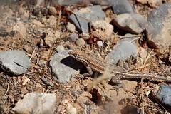 Nevada lizard (Larry Haines) Tags: redrockcanyon desert lasvegas reptile nevada lizard redrock nationalconservationarea
