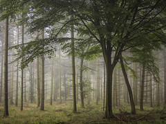 Misty Monday Morning (Damian_Ward) Tags: wood morning trees mist misty fog forest chilterns buckinghamshire foggy bucks beech wendover astonhill thechilterns chilternhills wendoverwoods damianward ©damianward