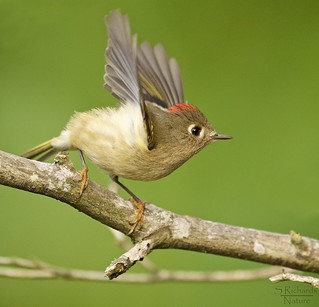 Ruby crowned kinglet, male