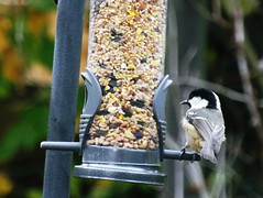 Scruffy and fluffy (Tricia in Kent UK ....) Tags: seeds visitor coaltit scruffyandfluffy