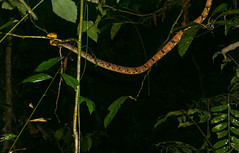 Dog-toothed Cat Snake (Boiga cynodon) well over 2m long, probably close to 2,5 m ... (berniedup) Tags: sarawak malaysia mulu dogtoothedcatsnake boigacynodon