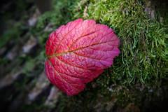 Purpurfarbenes Herbstblatt- (Jutta M. Jenning) Tags: rot laub herbst natur blatt blaetter farbig bunt moos herbstlaub purpur herbstlich herbstblaetter astmoos